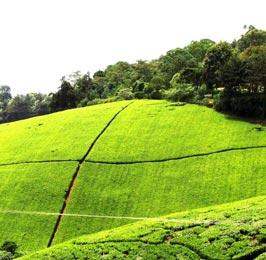 Kiambethu Tea Farm
