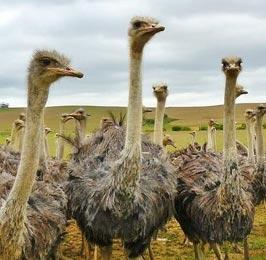 Maasai Ostrich Farm Tour